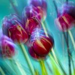 Tulpen, Aufnahme mit Aufhellblitz