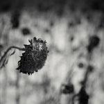 Sonnenblumen mit Schnee