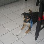 Laïka, la seule chienne qui fugue pour rentrer à la maison