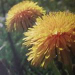 Natourzeiten - gelbe Löwenzahnblüten