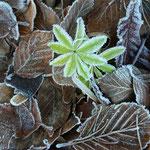 Natourzeiten - Waldmeister im Frost