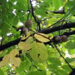 Natourzeiten - Walnussbaum