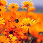Natourzeiten - gelbe Margeriten