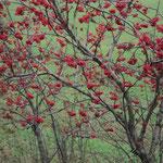 Die Blätter fallen ab,die Beeren bleiben für die Vögel.