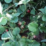 ...im Sommer Erdbeerfeld!