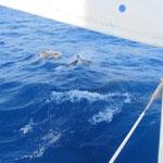 Delphine begleiten uns auf dem Weg nach Kotor