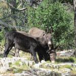 Dugi Otok - Die Nutzung der Esel, früher Tradition