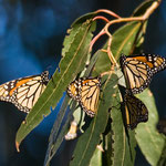 Monarch butterflies, Pismo Beach, Kalifornien