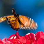 Monarch butterfly, Ragged Point, Kalifornien