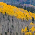 Aspen, Wasatch Mountains, Utah