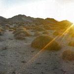 Reserva de la Biósfera El Pinacate, Desierto de Sonora. Vegetación de Choya Güera.