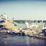 Pellicanos blancos, Lago de Chapala