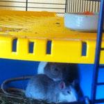 Zwei ganz nette Ratten, glücklich unter, zun Weiterlesen klicken