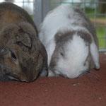 Maja und Muffin hoppeln in der Nähe von Bad Dürkheim in ihrem Freilauf mit Hasenhaus.