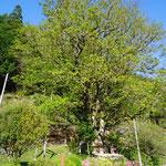 栃の木(樹齢は不明)