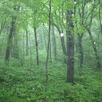 十二湖のブナ林