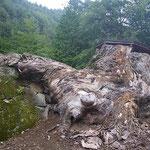 石垣を覆うほどの根。何故、枯れたのか?