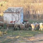 Passage des moutons au jardin ...