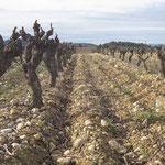 vignes taillées