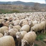 Transhumance de moutons devant chez nous !
