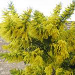 Mimosas , floraison,27/01/2008