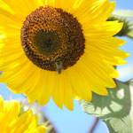 Biene am Nektar sammeln