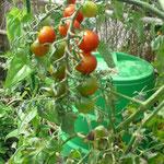 トマトもなっています。