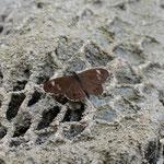崖の上で雌を探しながら飛んだ後、開翅しているツマジロウラジャノメ♂、中津川市2012.09.09 D7000+シグマ50-500mm(トリミング)