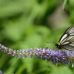 クガイソウで吸密するミヤマシロチョウ♂(実はこんな写真がすきなんです)大鹿村2012.07.28 D7000+200mmマイクロ