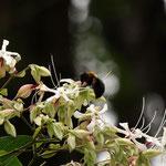 クサギの花に吸蜜に来るクマバチ 長久手市2012.08.13 E-5+ZD50-200