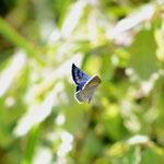 この日見たゴマシジミの中で、もっとも青く新鮮だった♂写真のできは良くないが、未練の写真、長野県某所2012.08.19