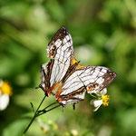 極めつけの普通種ですね、イシガケチョウが、でも、好きな蝶です。2011.09.30 E-5+シグマ150mmマクロ