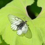 ヒメウスバシロチョウ♂も比較的きれいな固体が残っていました、上川町2012.07.07