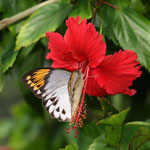 まあまあのツマベニチョウ♀ですが、やはり朝は撮影しやすいですね、那覇市2011.09.29