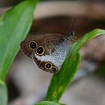 リュウキュウウラナミジャノメ♀の翅裏、国頭村2012.09.22