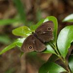 かなり数が減ってきたコジャノメ♂の開翅、長久手市2012.05.30 E-1+ZD14-54