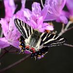 コバノミツバツツジで吸蜜をするギフチョウ♂、長久手市2012.03.13 D7000+200mmマイクロ(なんとなく、美しくない)