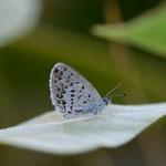 あまり元気のないヤハズソウが生える河川敷を歩いていると、やっと目的の蝶(シルビアシジミ♂)に出会えました。南アルプス市2012.09.01 D7000+200mmマイクロ