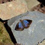 ムラサキシジミ♀の開翅、古座川町2012.11.03 D7000+200mmマイクロ