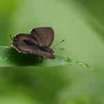 クロミドリシジミ♂の開翅ですが、なんかボケボケの写真ですね。