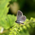 10月に入りちょっと涼しくなってきたせいか、ヤマトシジミ♀にも少し青い鱗粉が見られます。 半田市2012.10.06