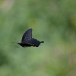 クロアゲハ♂の飛翔を横から、常滑市2012.05.06 D7000+200mmマイクロ