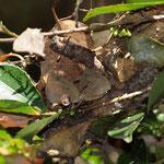ヒサカキの蜘蛛の巣に枯葉がくっついたねぐらで2頭確認できます、豊橋市2010.12.06
