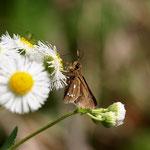 ハルジオンで吸蜜しているミヤマチャバネセセリ♂岐阜県南部2012.04.29 E-5+シグマ150mmマクロ