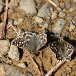 ヒメチャマダラセセリ♂の吸水ですが、なぜか同じ場所に来て寄り添うように吸蜜していました。アポイ岳2012.05.18 D7000+200mmマイクロ