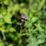 ワレモコウの上で開翅するゴマシジミ♂ちょっとだけ青いんですが、近づく前に飛ばれてしまいました