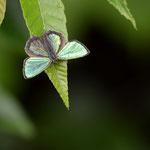 やや低いところでテリを張り、他の蝶が来ると追い払うメスアカミドリシジミ♂、塩尻市2012.07.14