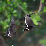 シロオビアゲハ♀を追う2頭の♂、今帰仁村2011.10.01D7000+85mmマクロ(トリミング)