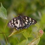 ゴマダラチョウ♂の開翅です。長久手市2012.05.24 GX1+45-200mm