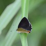 ススキの上で開翅するウラキンシジミ♂ 津市、2012.06.24 D7000+200mmマクロ
